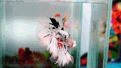 siamese fighting fish betta fish beta fish fish community ...