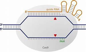 Crispr  Cas9 Interacting With Target Dna  The Crispr  Cas9