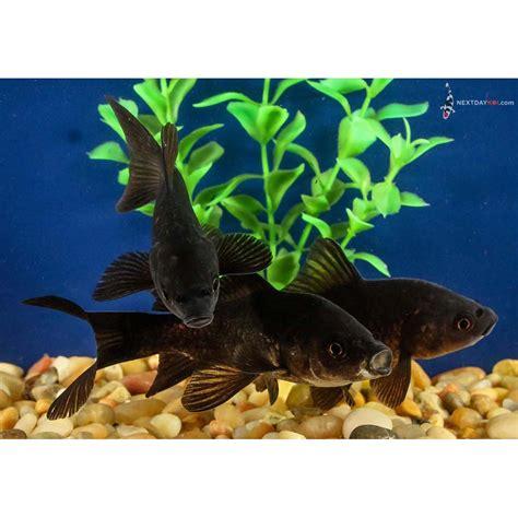 Black Comet Goldfish