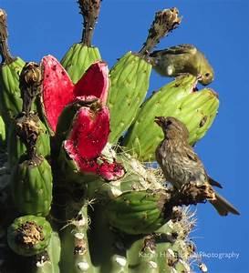 saguaro cactus fruit | Arizona Bird Watcher