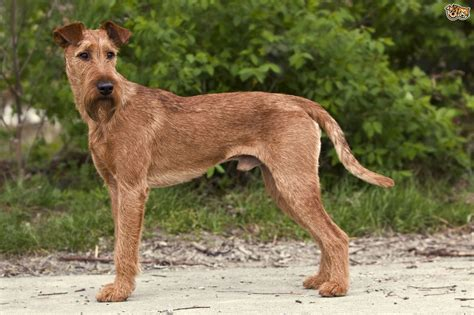 Small Non Shedding Dogs Easy To Train by Irish Terrier Dog Breed Information Buying Advice Photos