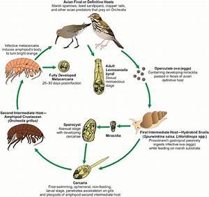 Parasite Life Cycle