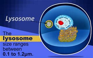 difference   oft confused lysosomes