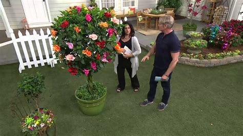 cottage farms hibiscus cottage farms braided flower hibiscus 4 color tree on qvc