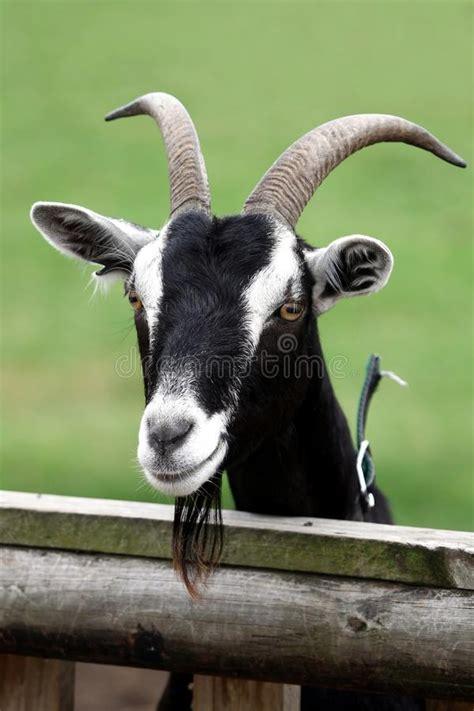 billy goat portrait stock photo image  mammal short