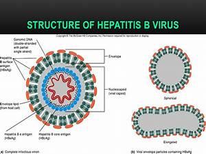 STRUCTURE OF HE... Hepatitis B Virus