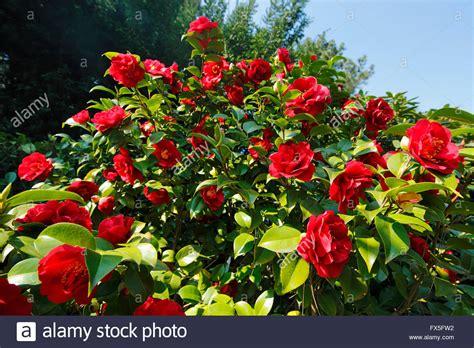 strauch mit roten blüten natur jahreszeiten fruehling baum baumbluete strauch rote blueten kamelie camellia