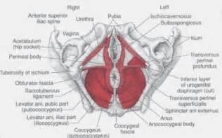 female pelvic floor muscles diagram hot girls wallpaper