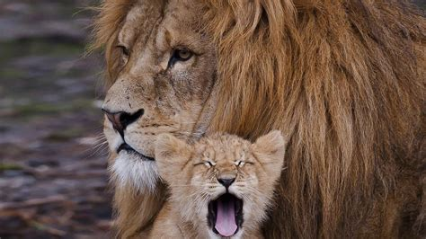 lion  cub hd wallpaper hd latest wallpapers