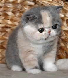 shorthair cat for 172 best shorthair cats images on