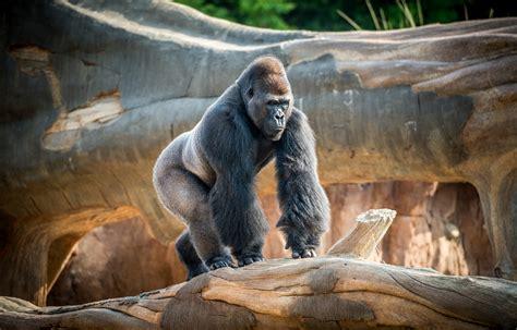 member morning gorillas  houston zoo