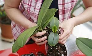 Orchideen Umtopfen Video : orchideen durch ableger vermehren mein sch ner garten ~ Watch28wear.com Haus und Dekorationen