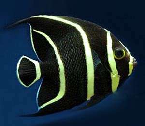 angelfish info  facts
