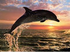 Dolphins Jumping Out Of The Water At Sunset Making A Heart December 1