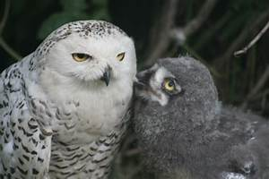 Snowy Owl Invasion - Wild About Utah