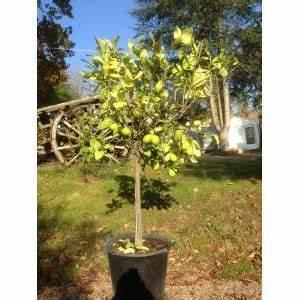 Planter Un Citronnier : cultiver un citronnier en pot plantes citronnier ~ Melissatoandfro.com Idées de Décoration