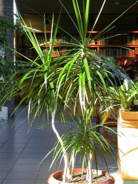 small cozy living room ideas potted palm images which are the typical palm species