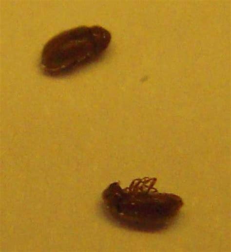 insectes dans la cuisine bête à carapace qui vole dans cuisine