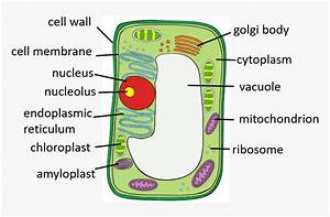 Chloroplast In Plant Cell