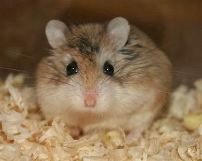 Hamster Roborovski Breeding Pregnant Stare