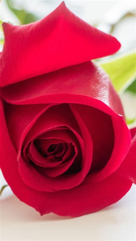 wallpaper red rose hd flowers