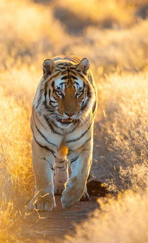 Images About Tiger Reference Pinterest