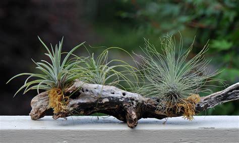 pflanzen ohne wurzeln sukkulenten ohne erde halten 187 arten und pflegetipps