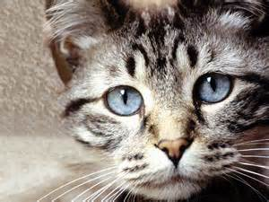cat faces cats wallpapers kittens backgrounds kitty desktops