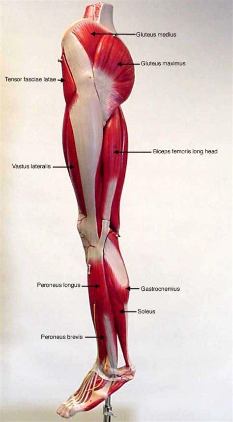 Face upward position of the body dorsal. posterior thigh deep anterior leg lateral leg posterior leg posterior | A&P | Pinterest ...