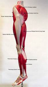 11 Best Images About Muscles  Labeled On Pinterest