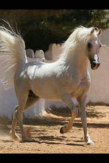 horses arabian horse stallion tail pretty most egyptian western breeding wow grey competition beauty majestic perfect animals arab gray arabians