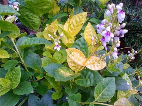 jenis bunga melati populer ditanam dunia