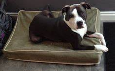 1000 images about american pit bull terrier on pinterest With pit stop dog bed