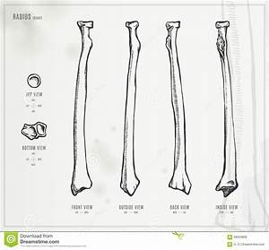 Radius Stock Vector  Illustration Of Radius  Forearm