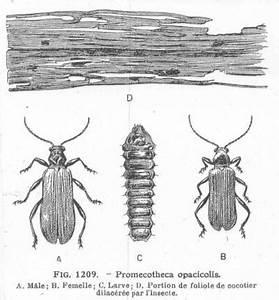 Insecte Qui Mange Le Bois : les insectes agricoles 1921 les c ~ Farleysfitness.com Idées de Décoration