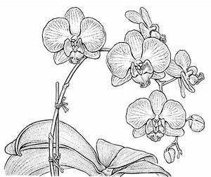 Drawn orchid really - Pencil and in color drawn orchid really
