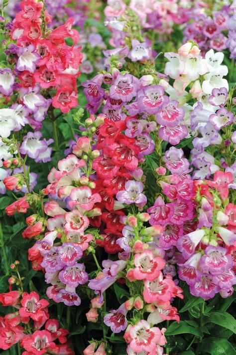 penstemon seeds  top penstemons perennial flower seeds