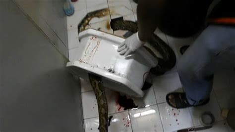 voir femmes aux toilettes tha 239 lande l homme mordu au p 233 nis par un python se r 233 tablit