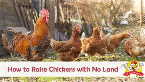 How To Raise Chickens With No Land