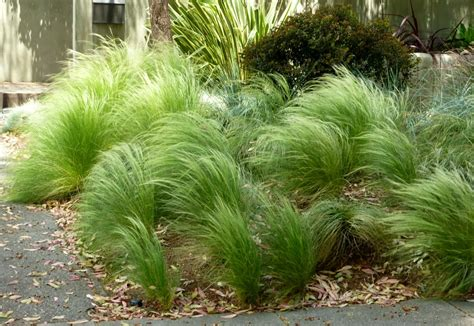 mexican feather grass plants ridiculousness sway bob and quiver part 1