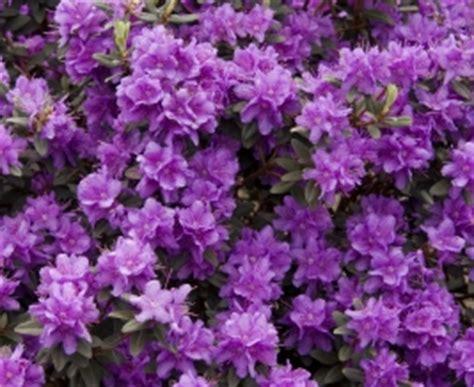 azal 233 e nain photo de fleur une pensee fleuriste