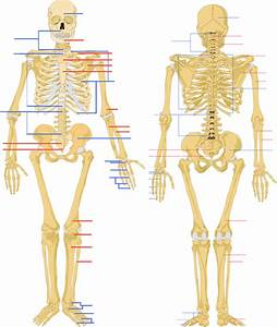Human Skeleton Diagram No Labels Choice Image - How To ...