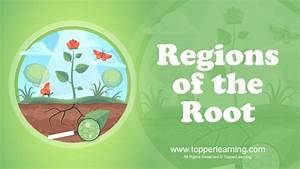 Draw A Well Labelled Diagram Of The Regions Of The Root