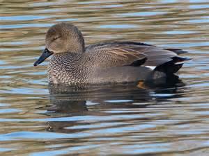 Gadwall Duck Identification