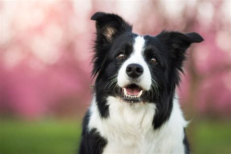 Do Collies Shed A Lot by Do Border Collies Shed Wagging Mongrel