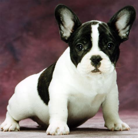 French  Ee  Bulldog Ee   Wiktionary