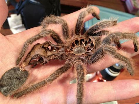 do tarantulas molt crab emerging from its shell creepy