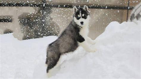 Siberian Husky Puppies First Time Meet Snow
