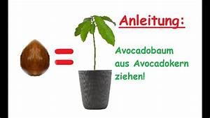 Aprikosenbaum Selber Ziehen : avocado pflanze aus kern selber ziehen avocadobaum z chten diy anleitung tipps youtube ~ A.2002-acura-tl-radio.info Haus und Dekorationen