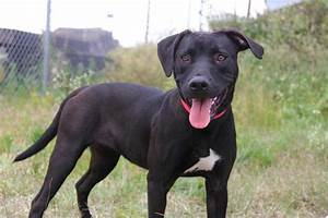 Yo Red Ghost Blue Nose Pitbull Mixed With Lab Hunting For ...